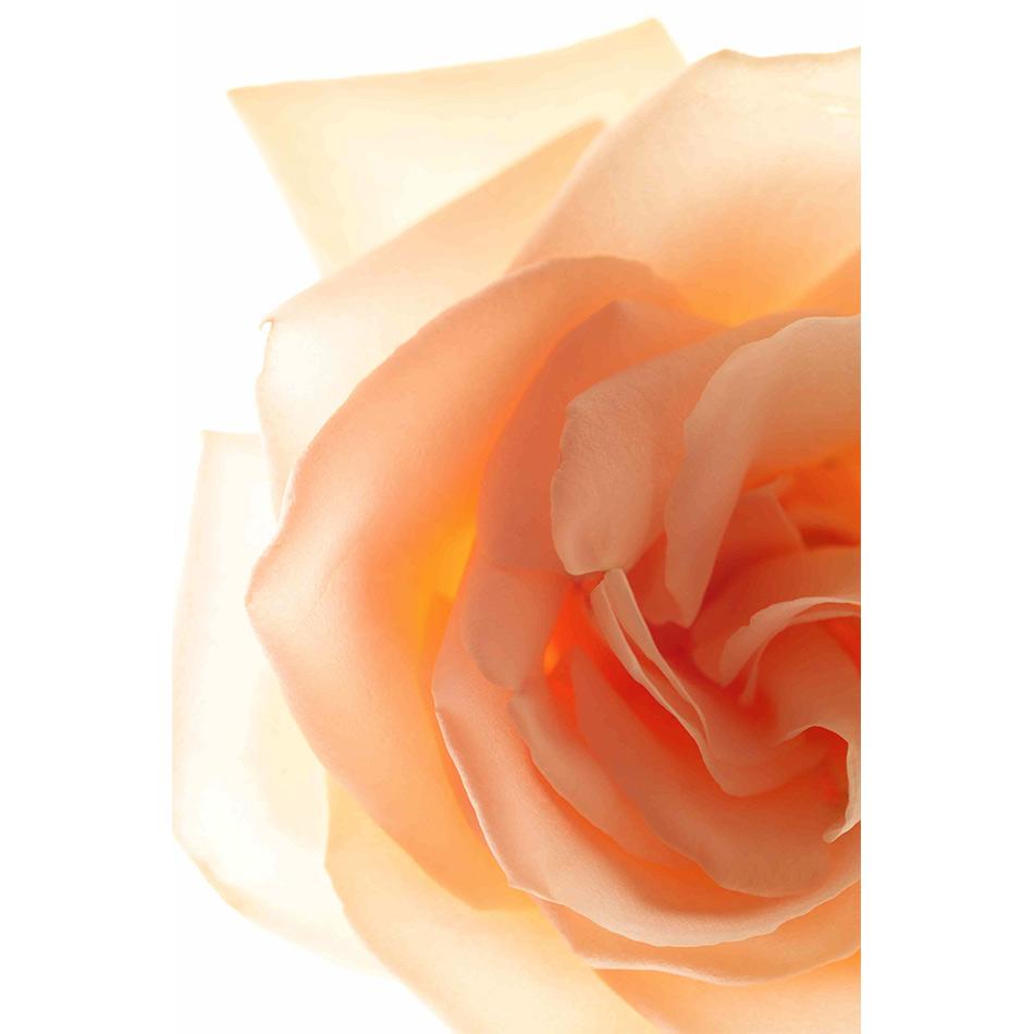 Paul Solberg - Peach Rose